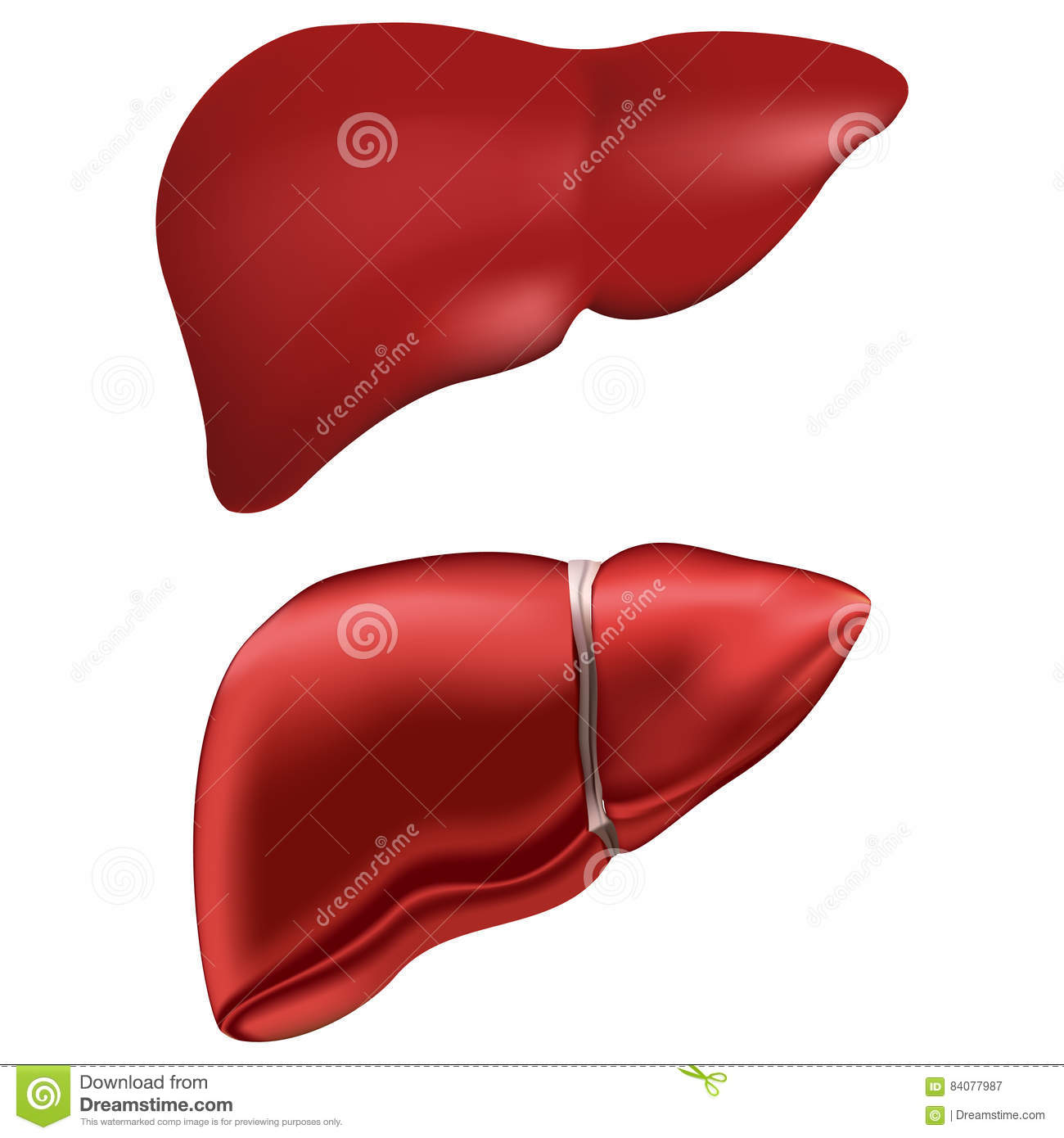 anatomy of human liver pdf