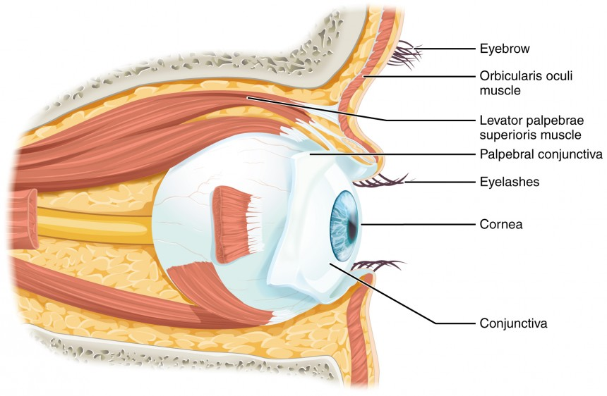 human eye structure and function pdf
